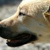 Sled dog - Denali National Park
