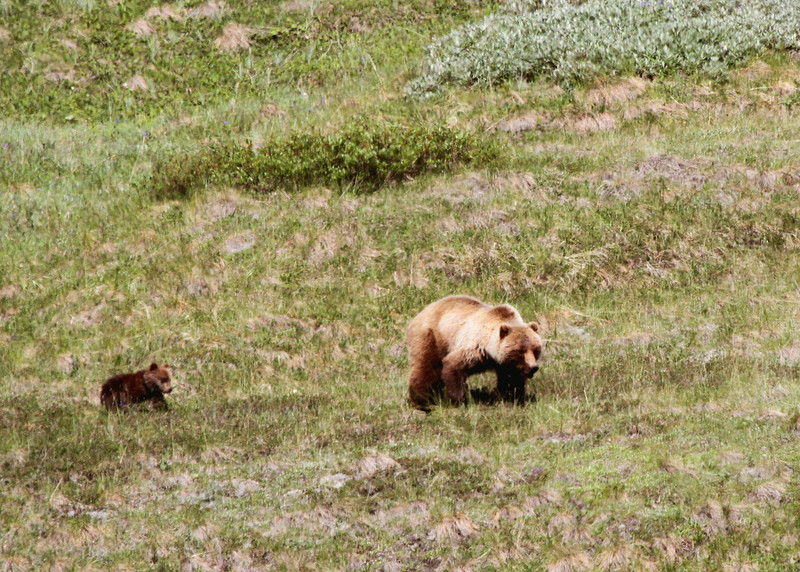 Grizzly sow and cub - Denali National Park