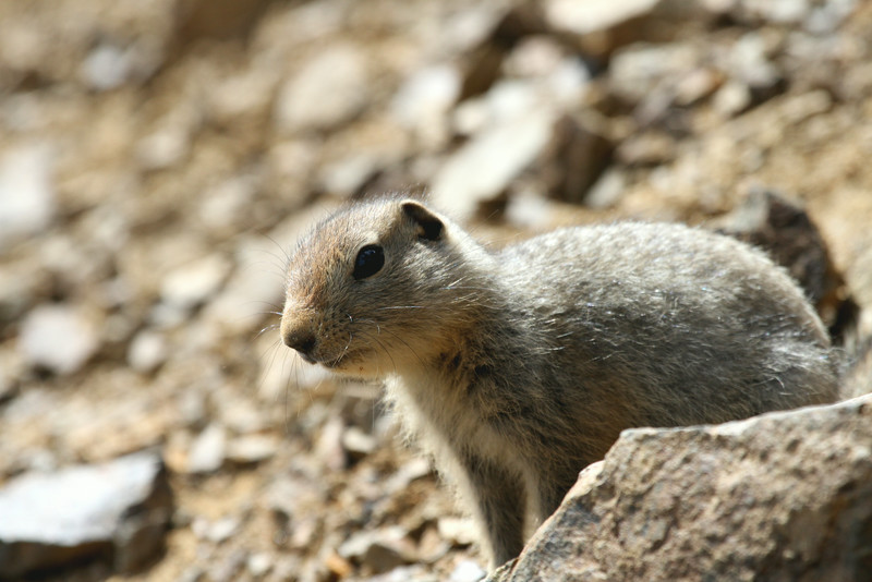 Arctic Ground Squirrel - Denali National Park.