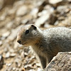 Arctic Ground Squirrel - Denali National Park.