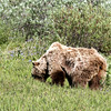 Large grizzly in Denali National Park