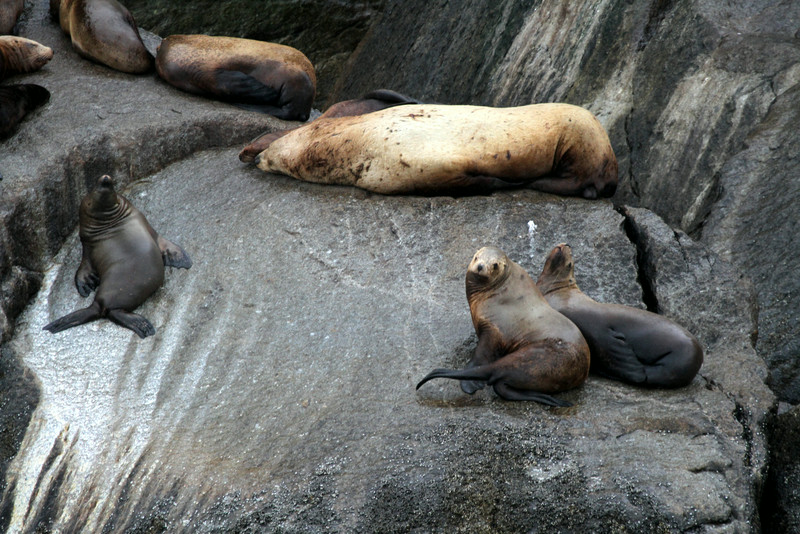 Steller Sea Lions - Kenai Fjords National Park.