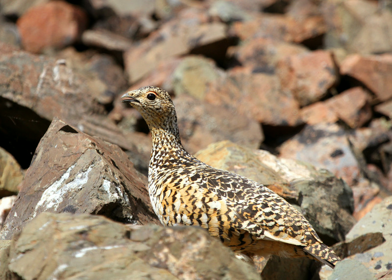 A Ptarmigan, which was nesting with a chick, in the rocks of Denali National Park. It is Alaska's state bird and turns completely white during the winter.