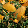Gingko leaves in Autumn - Charleston, South Carolina