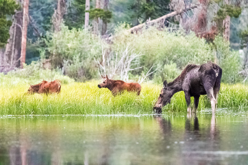 Momma moose and her two calves in the tall grass along the shores of Sprague Lake in Rocky Mountain National Park.