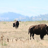 Bison on Antelope Flats