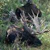 A moose family