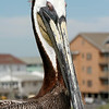 Pelican - Carolina Beach