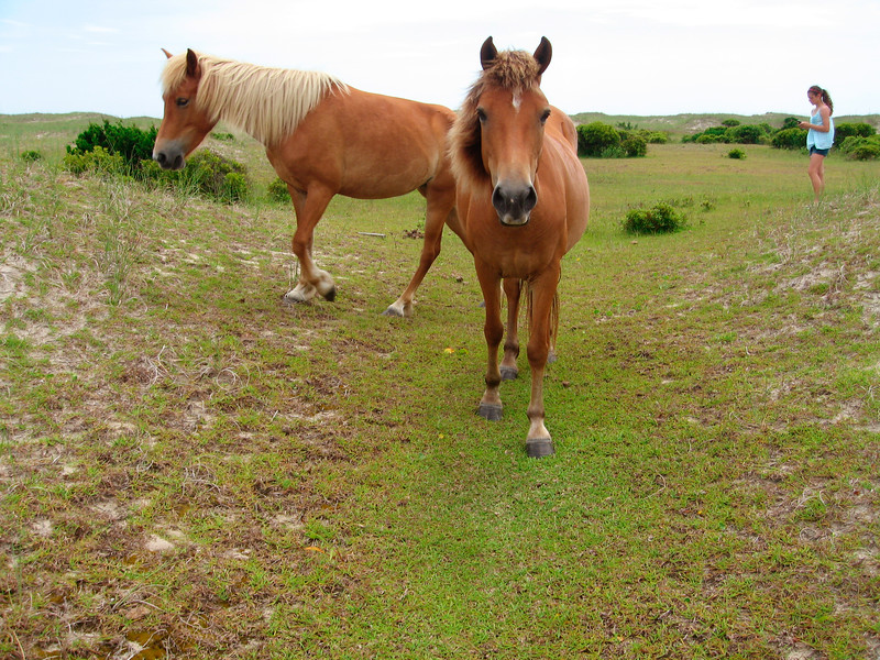 Wild horses - Shackleford Banks