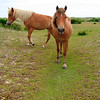 Wild horses - Shackleford Banks