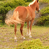 Wild horse - Shackleford Banks