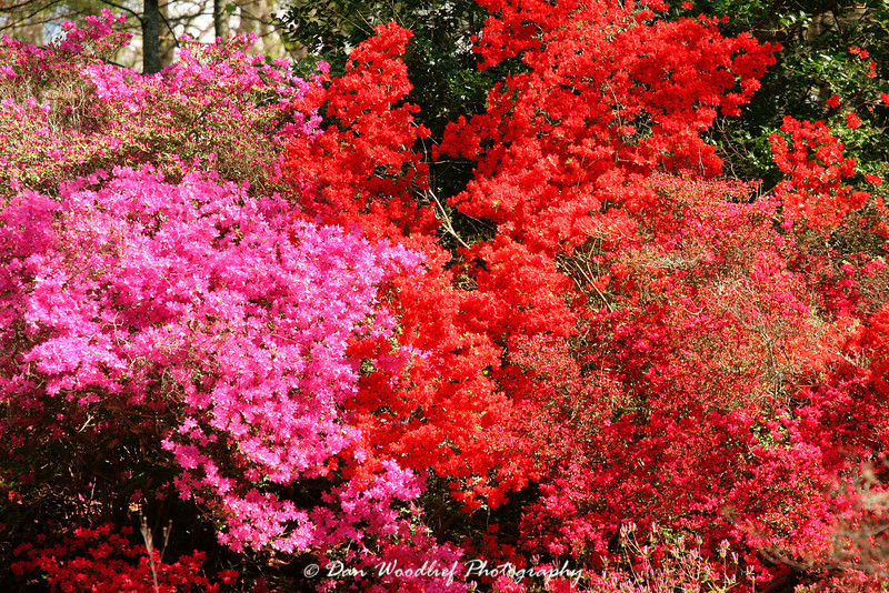 Blooming trees - Biltmore House - Asheville