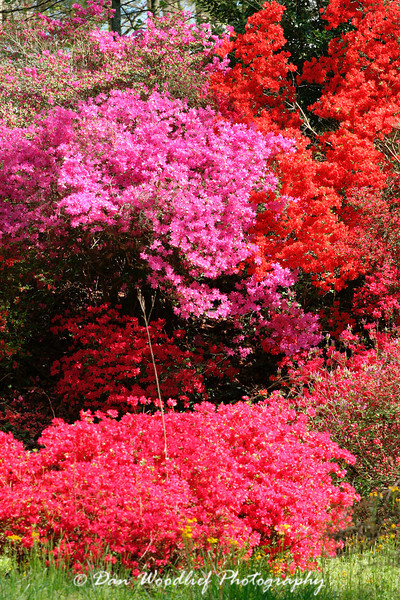 Blooming trees at Biltmore House - Asheville