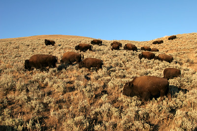 Bison in Lamar Valley - Yellowstone National Park, Wyoming
