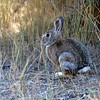 A furry rabbit near Midway Geyser Basin