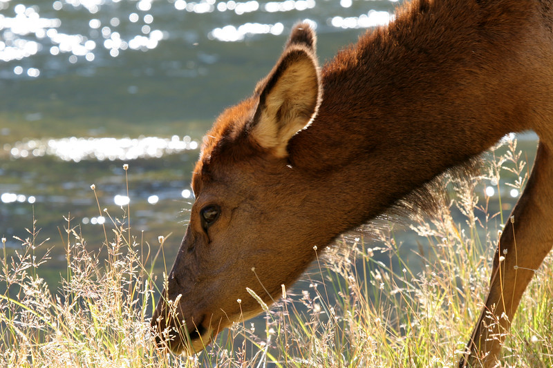 An elk cow (female elk) on the banks of the Madison River
