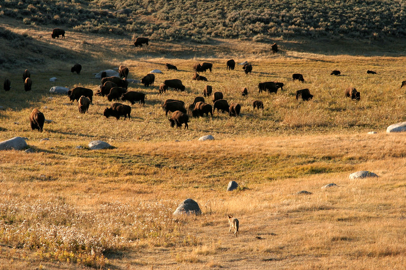 A coyote carefully approaches a bison herd in Lamar Valley.