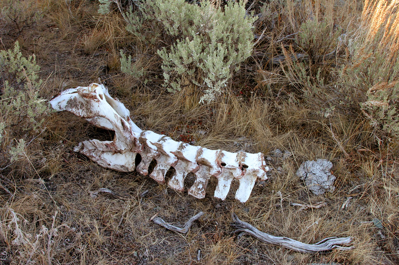 Animal remains in Lamar Valley