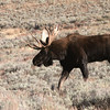 A bull moose in Lamar Valley