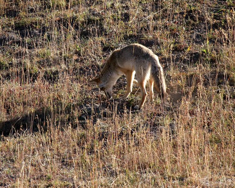 A coyote hunts in Hayden Valley