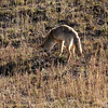 A coyote hunts in Hayden Valley