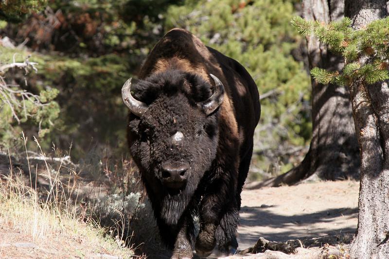 A bison follows us down a trail.