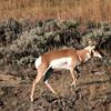 Pronghorn antelope in Lamar Valley