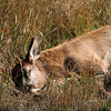 An elk calf asleep on the banks of the Madison River