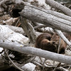 Dozing otters - Madison River