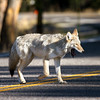 Coyote crossing the road - Hayden Valley