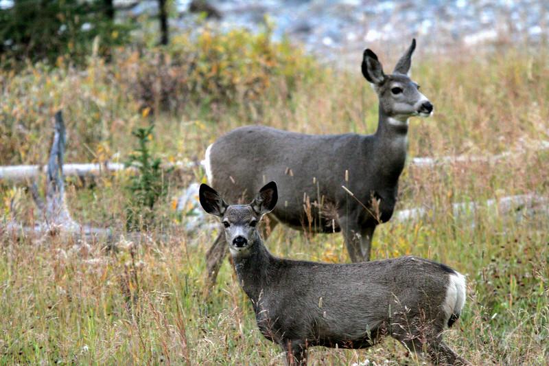 Mule deer fawn and doe