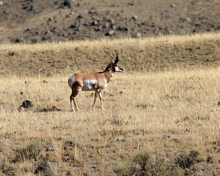 A Pronghorn Antelope.