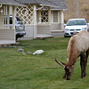 Elk outside our Mammouth cabin