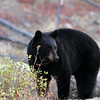 Black Bear just after sunrise