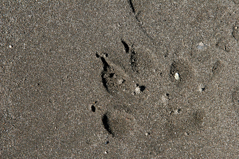 Wolf track on the beach