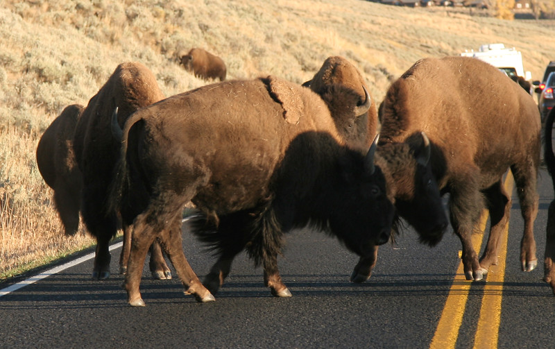 Sparring bison on the Lamar Valley road