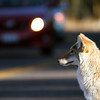 A coyote sits in the road in Hayden Valley