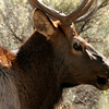 Bull Elk chewing
