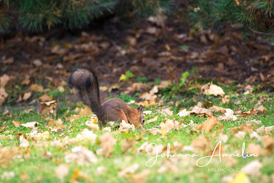 Salo Uskelan kirkko oravat syksy 038
