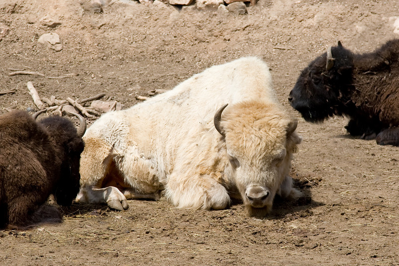 "Rare ""white"" buffalo - begs the question do blondes really have more fun?"