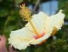 hibiscus7151