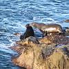 sea lions IMG_7156 (2)