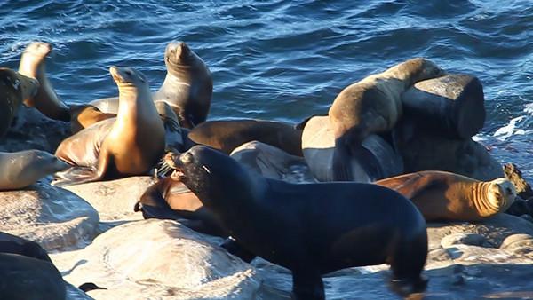 Sea Lion Videos