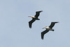 pelicans2591