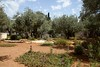 The Garden of Gethsemane is at the foot of the Mount of Olives, within the walled grounds of the Church of all Nations