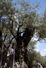 2500 year old olive tree in the Garden of Gethsemane.  It still produces olives and was there when Jesus spent his last night in the garden.