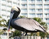Pelican, fishing pier