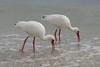 ibis6468