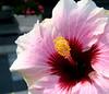 pink hibiscus6806