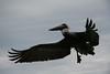 pelican6597